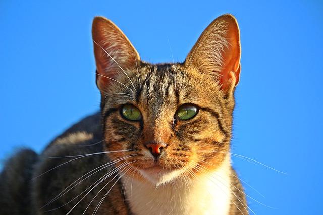 tygr kočka